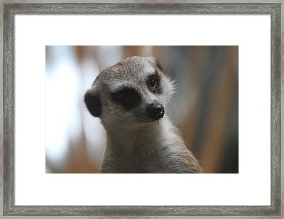 Meerket - National Zoo - 01134 Framed Print by DC Photographer