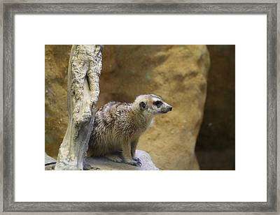 Meerket - National Zoo - 01135 Framed Print by DC Photographer