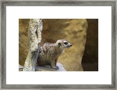 Meerket - National Zoo - 01135 Framed Print