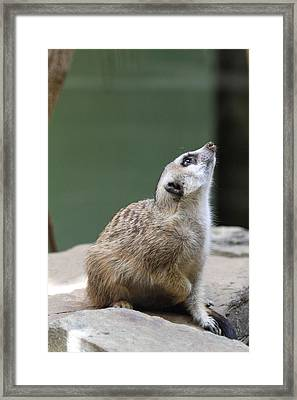 Meerket - National Zoo - 01138 Framed Print by DC Photographer