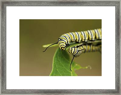 Meeting In The Middle - Monarch Caterpillars Framed Print by Jane Eleanor Nicholas