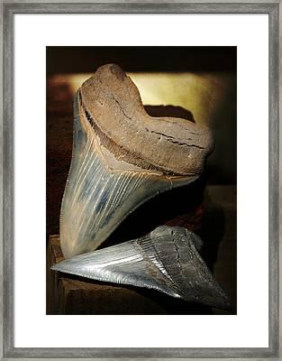 Megalodon Fossil Shark Teeth Framed Print by Rebecca Sherman