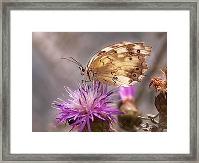 Melanargia Framed Print