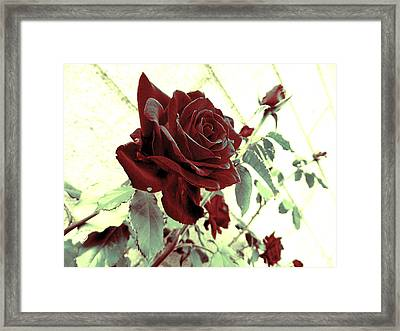 Melancholy Rose Framed Print