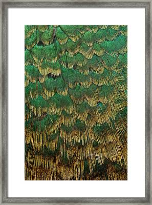 Melanistic Pheasant Breast Feathers Framed Print by Darrell Gulin