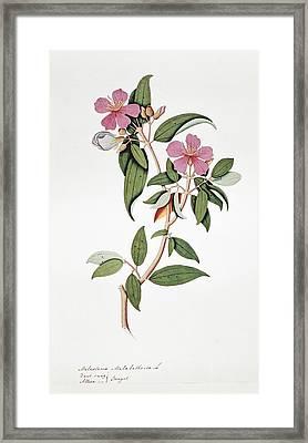 Melastoma Malabathrica Flowers, Artwork Framed Print