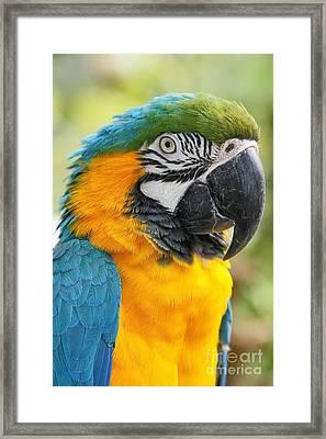 Mele E Manono Ia Ea Macao Tropical Birds Of Hawaii Framed Print by Sharon Mau