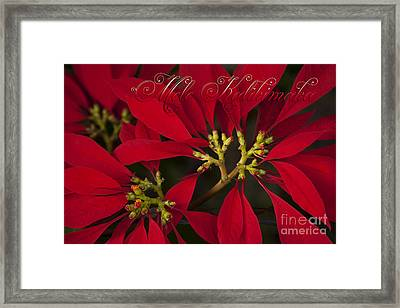 Mele Kalikimaka - Poinsettia  - Euphorbia Pulcherrima Framed Print by Sharon Mau