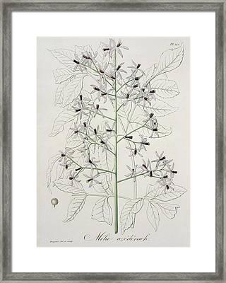 Melia Azedarach From Phytographie Framed Print by LFJ Hoquart