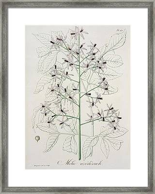 Melia Azedarach From 'phytographie Medicale' By Joseph Roques Framed Print by L F J Hoquart