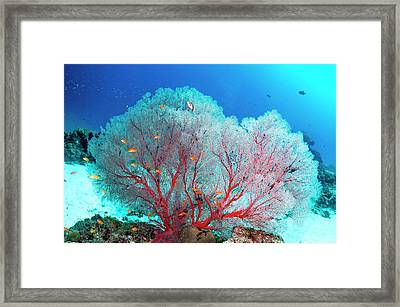 Melithaea Sea Fan And Lyretail Anthias Framed Print