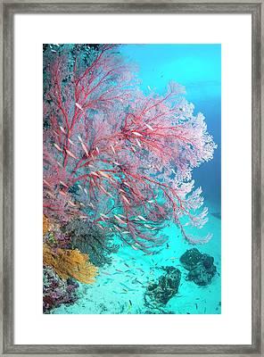 Melithaea Sea Fan Framed Print by Georgette Douwma
