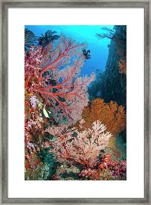 Melithaea Sea Fans Framed Print by Georgette Douwma