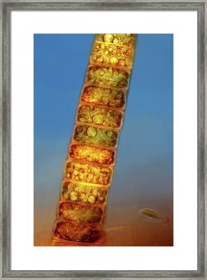Melosira Diatoms Framed Print