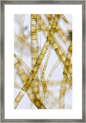 Melosira Filamentous Diatom Alage, Lm Framed Print by Power And Syred