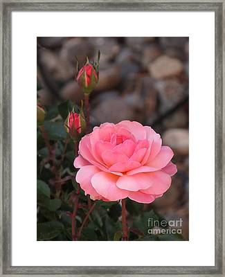 Memorial Day Rose Framed Print by Phyllis Kaltenbach