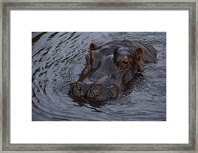 Menacing Hippo Framed Print by Graham Palmer