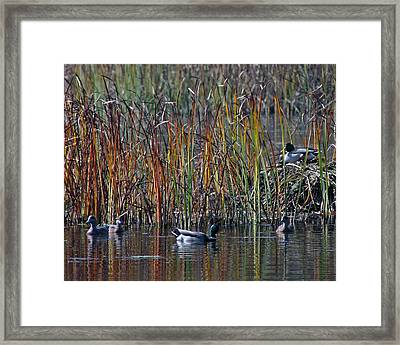 Menagerie Of Ducks Framed Print by Rhonda Humphreys