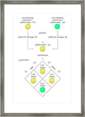 Mendelian Genetics Framed Print
