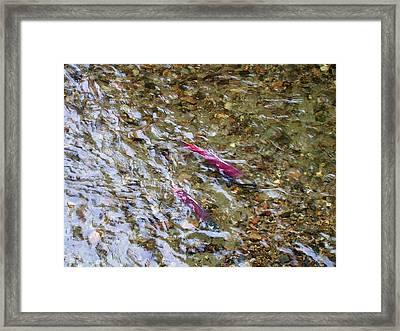 Mendenhall Salmon Framed Print