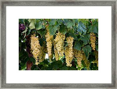 Merbein Seedless Sultana Grapes Framed Print by Tony Camacho