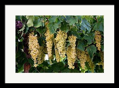 Clusters Of Grapes Framed Prints