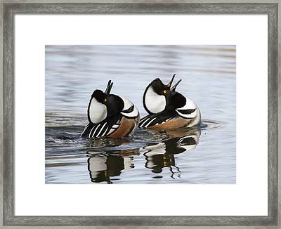 Merganser Display Framed Print