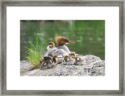 Merganser With Chicks Framed Print by Acadia Photography