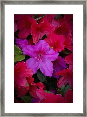 Merging Azaleas 2 Framed Print by Penny Lisowski
