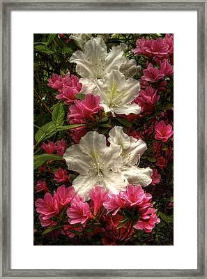 Merging Azaleas  Framed Print