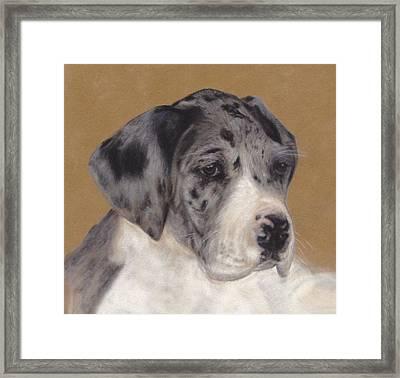 Merle Great Dane Puppy Framed Print by Loreen Pantaleone