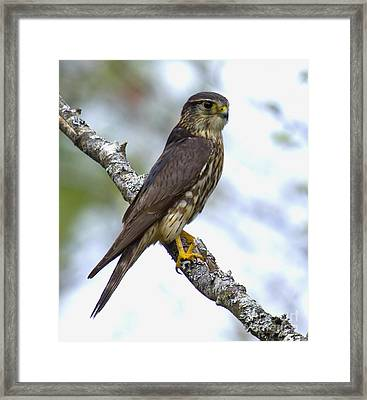Merlin Falcon Framed Print