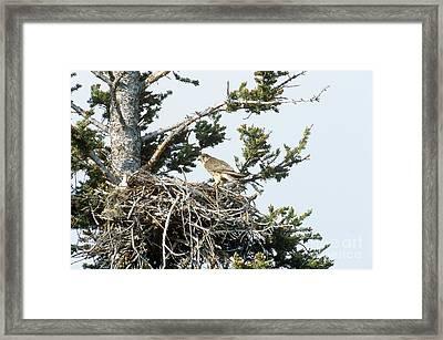 Merlin In Nest Framed Print by William H. Mullins