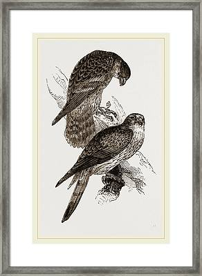 Merlins Framed Print