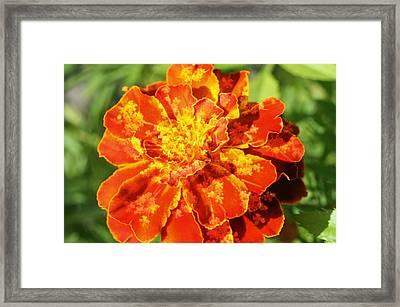 Merry Marigold Framed Print