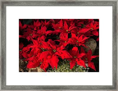 Merry Scarlet Poinsettias Christmas Star Framed Print