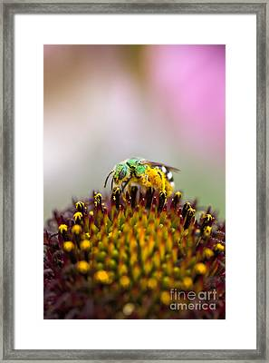 Metallic Green Bee Macro On A Coneflower Framed Print by Brandon Alms