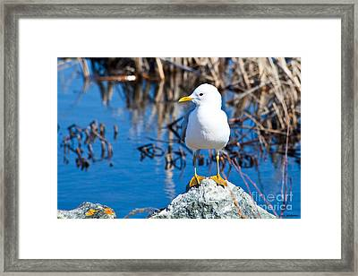 Mew Gull Framed Print by Chris Heitstuman