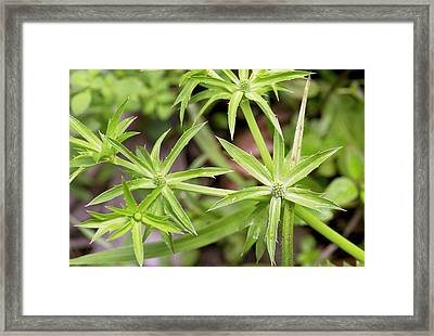 Mexican Coriander (eryngium Foetidum) Framed Print by Bob Gibbons