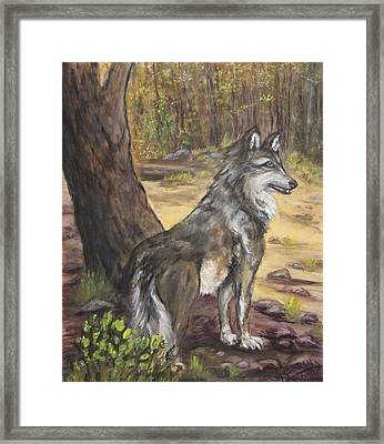 Mexican Gray Wolf Framed Print by Caroline Owen-Doar