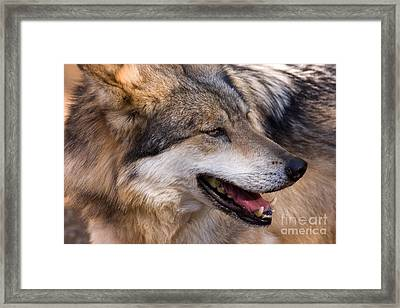Framed Print featuring the photograph Mexican Gray Wolf by Chris Scroggins