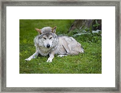 Mexican Gray Wolf Framed Print by Sebastian Musial