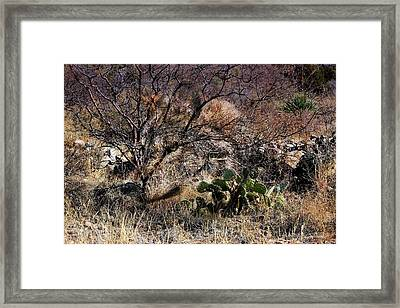 Mexican Grey Wolf Desertscape Framed Print by Barbara Chichester