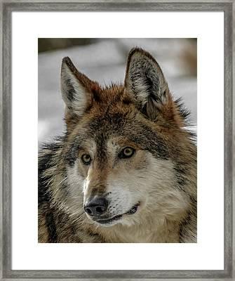 Mexican Grey Wolf Upclose Framed Print by Ernie Echols