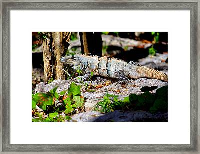 Mexican Iguana Framed Print