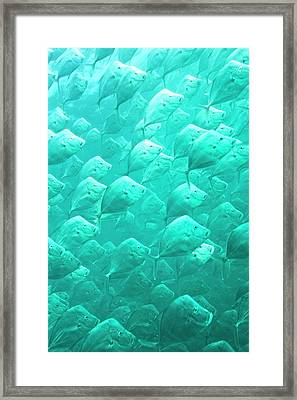 Mexican Lookdown Shoal Framed Print by Christopher Swann
