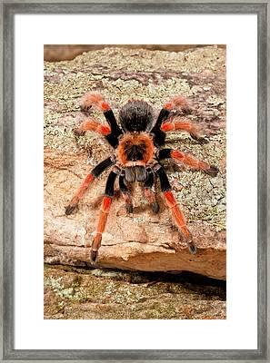 Mexican Painted Leg Tarantula Framed Print by David Northcott