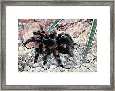 Mexican Red Knee Tarantula Framed Print by Dirk Wiersma