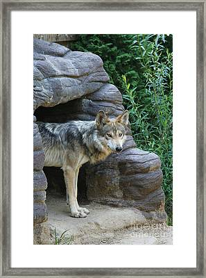 Mexican Wolf #2 Framed Print