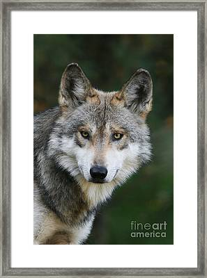 Mexican Wolf #3 Framed Print